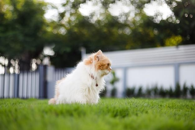 緑の芝生のフィールドに座っているかわいいペルシャ猫