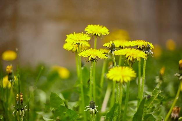 봄이면 초원에 저절로 피어나는 민들레