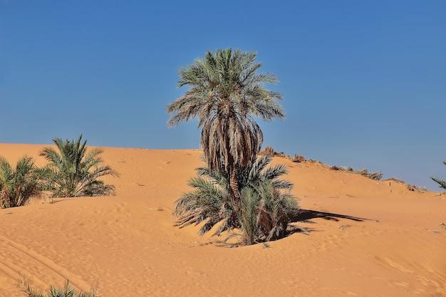 アルジェリアのサハラ砂漠にあるティミムンの放棄された都市のナツメヤシの木