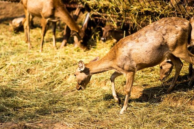 鹿は地面に干し草を食べにしゃがんでいた。