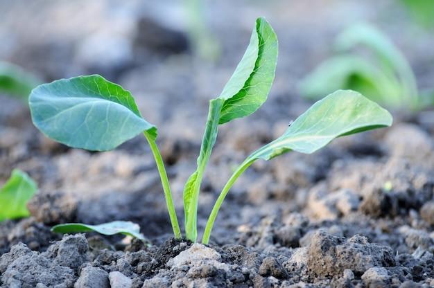 봄에 어린 양배추 식물의 발달