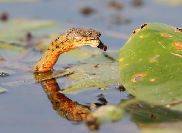 魚を捕まえて食べるダイスネーク (natrix tessellata)