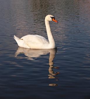 Грязный лебедь белого цвета плывет по озеру