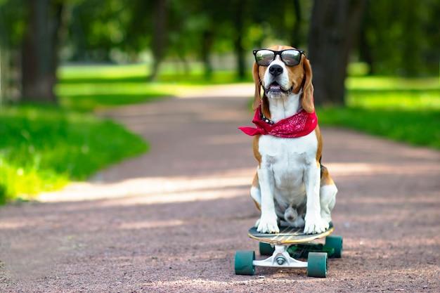 Собака породы бигль правда катается в парке, но прогулка на лонгборде учится кататься на скейтборде в парке.
