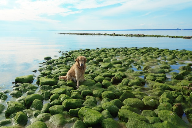 개 품종 골든 리트리버는 베이에서 녹색 돌에 앉아 목욕 후 젖은.