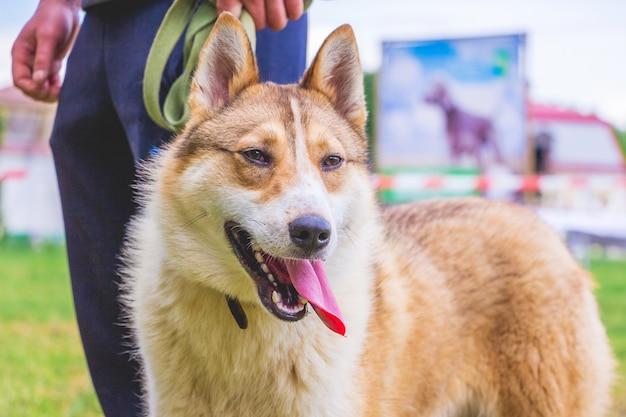 犬種は、ドッグショーで飼い主の近くにいるウエストシベリアンライカです。