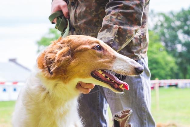 犬は飼い主の近くでロシアのグレイハウンドを繁殖させます。これは犬のクローズアップの肖像画です。