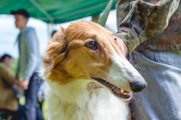 Собака разводит русскую борзую рядом с хозяином, портрет собаки крупным планом в профиль