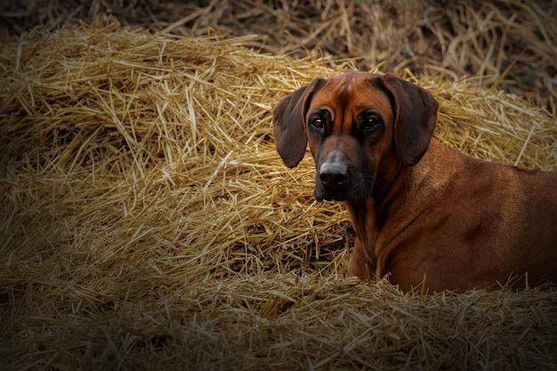 Собака лежит на стоге сена. домашнее животное на природе. родезийский риджбек в природе. африканская гончая. собака отдыхает
