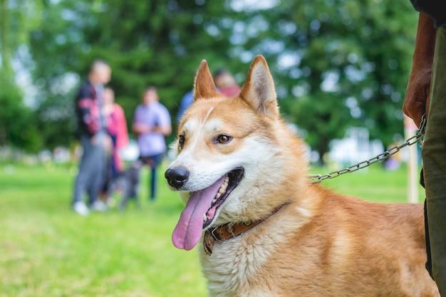 Собака породы - западно-сибирская лайка на цепочке рядом с хозяйкой.