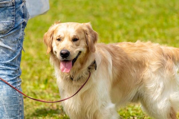 ゴールデンレトリバーの犬は飼い主の近くで幸せを感じます