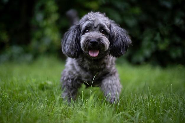 개는 잔디에서 실행됩니다. 귀여운 곱슬 난쟁이 푸들.