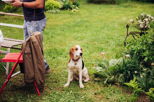 Собака нюхает гриль. семейная вечеринка на открытом воздухе. бигль побежал по саду и почувствовал запах мяса.