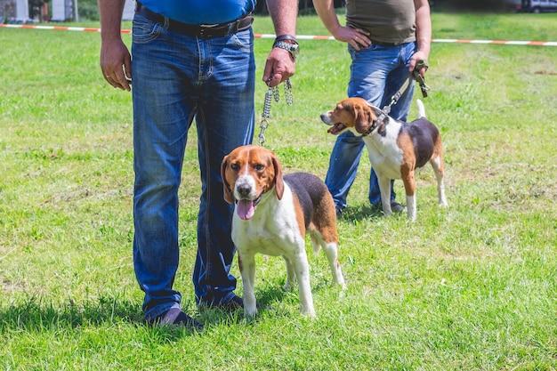 犬種の犬は、飼い主の隣のひもにつないでエストニアの猟犬を飼っています_