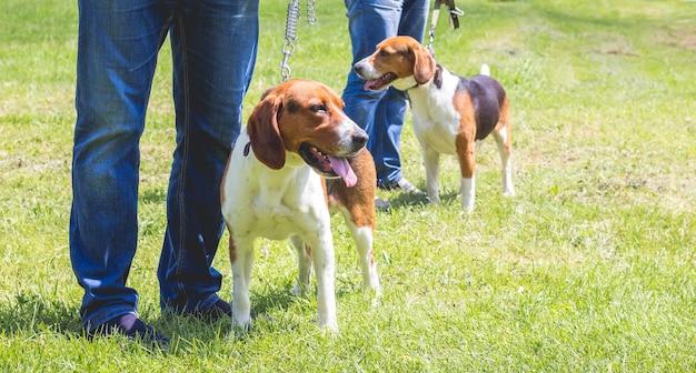 Собаки породы эстонская гончая на поводке рядом с хозяином