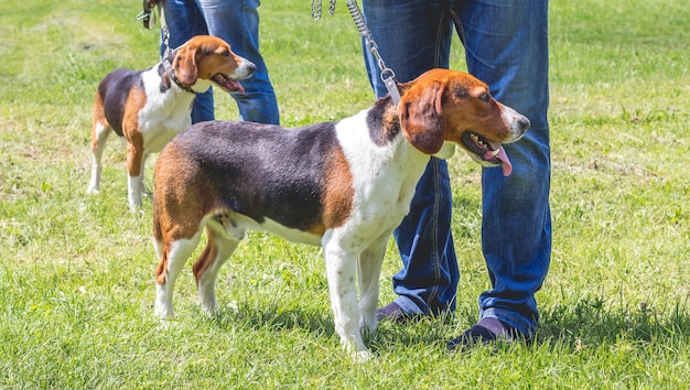개는 주인 옆에 가죽 끈에 에스토니아 사냥개를 사육합니다.