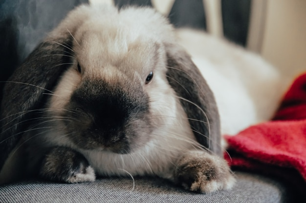 흰색 회색의 국내 장식용 토끼는 소파 침대에 따뜻함과 편안함을 제공합니다. 동물 돌보기.
