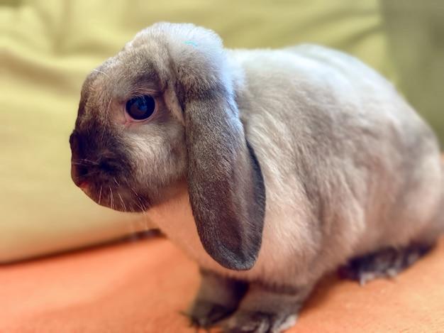 화이트 그레이 컬러의 국내 장식용 토끼는 소파 베드에 따뜻하고 편안하게 앉아 있습니다. 동물 돌보기.