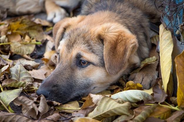 飼い犬は乾燥した黄色の葉の山に横たわっています。秋-悲しみと郷愁の時です
