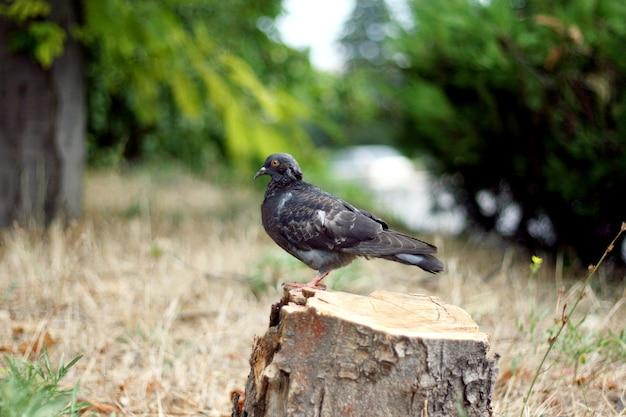 Голубь сидит на пне распиленного дерева.