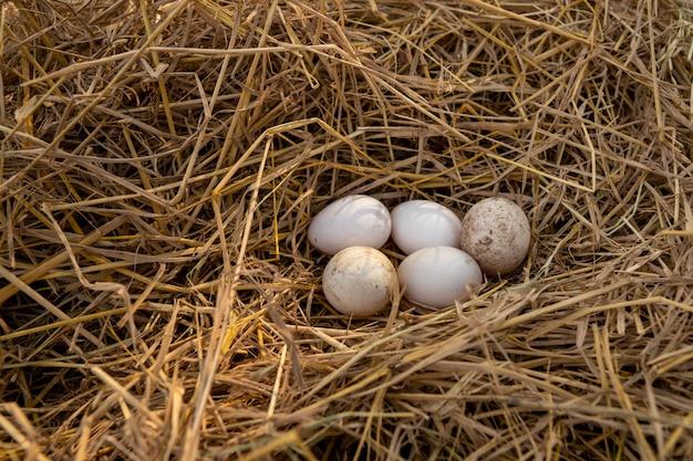アヒルの卵はわらの上にあります。