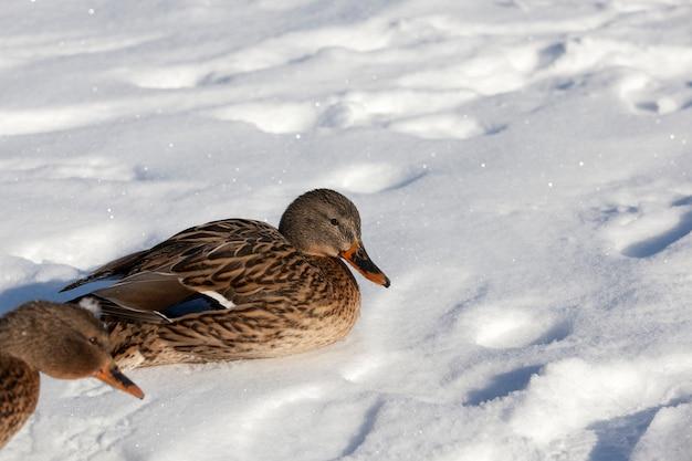 Утка осталась на зимовку в европе, холодное время года с морозами и снегом, утка сидит на снегу в заморозки и холода.