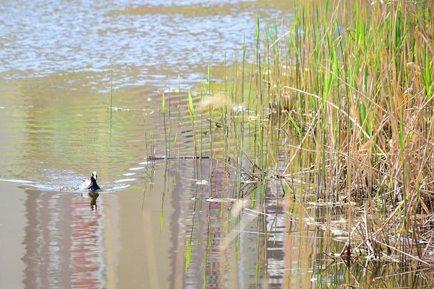 アヒルは湖や川の穏やかな水面に沿って泳ぎます。右側は草の茂みです