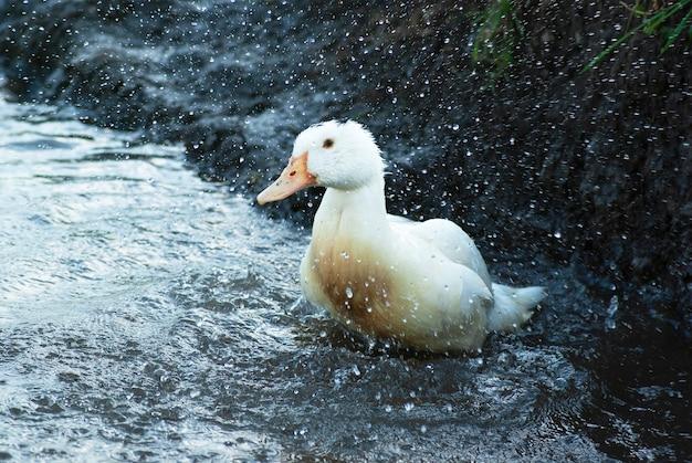Утка плавает в озере