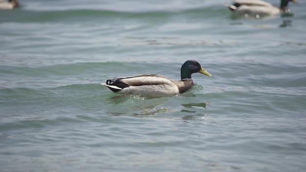 Утка быстро плывет по озеру крупным планом. дикая природа. 4k uhd