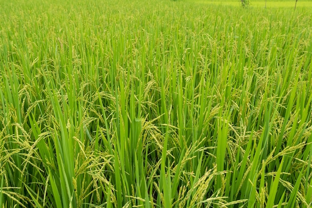 Колосья риса на зеленых рисовых полях на рисовых полях