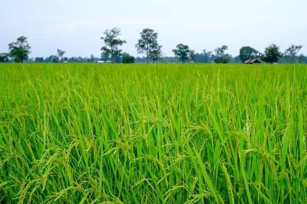 収穫近くの米の穂
