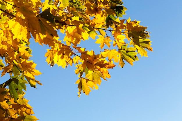 노란 단풍 나무의 가장자리, 인도 여름 동안 화창한 따뜻한 날씨에 가을 시즌에 단풍