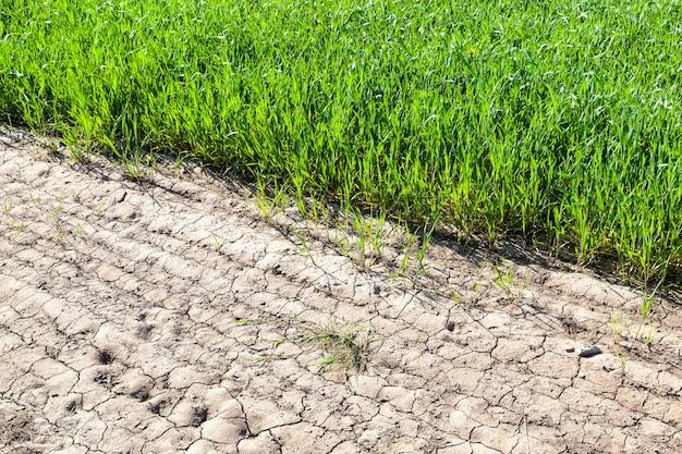 春に緑の若い小麦が育つ畑の端