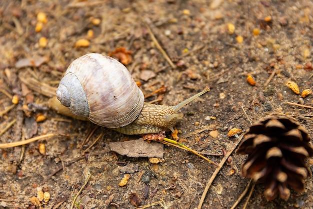 食用ブドウのカタツムリhelixpomatiaは、一般的なヨーロッパの大型陸生カタツムリです。