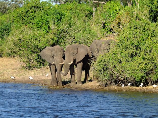 アフリカ、ボツワナのザンベジ川の海岸の象