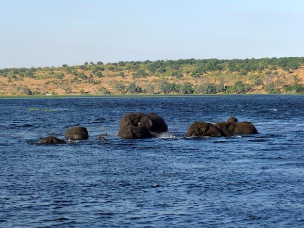 象はアフリカのボツワナ、ザンベジ川で泳ぐアフリカのボツワナ、ザンベジ川