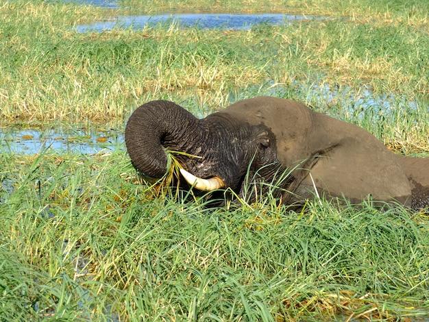 象はアフリカ、ボツワナのザンベジ川で泳ぐアフリカ、ボツワナのザンベジ川