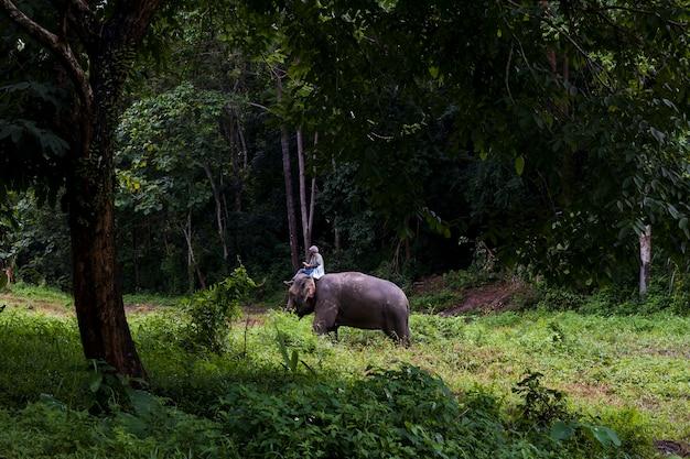 Слоны в лесу и погонях в природном парке, таиланд Premium Фотографии