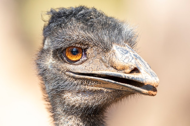 에뮤는 백혈구의 친척 인 타조 다음으로 키가 두 번째로 큰 살아있는 새입니다.