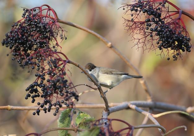 유라시아 블랙캡(sylvia atricapilla) 수컷과 암컷은 검은 엘더베리 덤불과 부드러운 아침 햇살 아래 물 근처에 클로즈업되어 있습니다.