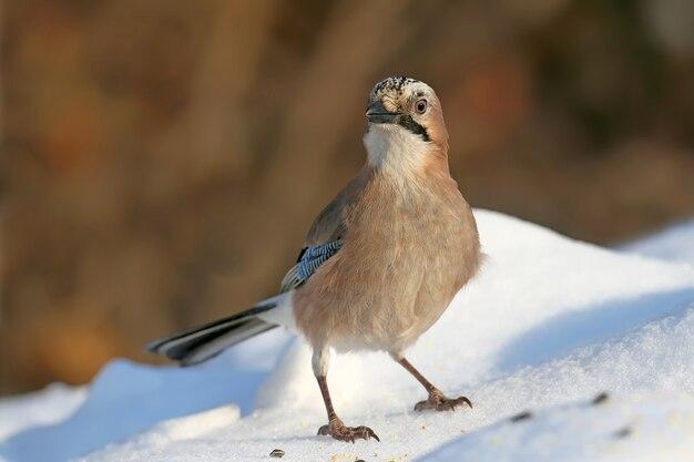 Евразийская сойка сидит на снегу с семенами подсолнечника и других растений.