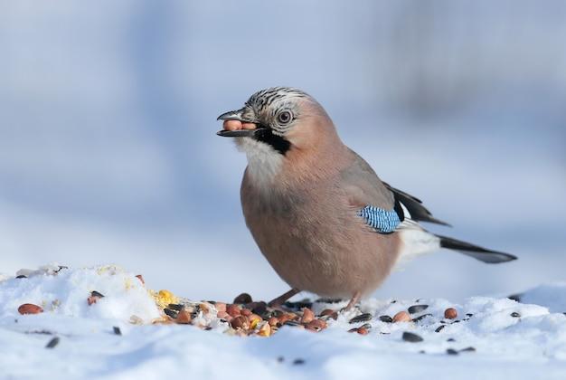 Евразийская сойка сидит на снегу и пытается проглотить два арахиса. фото крупным планом с деталями оперения и радужной оболочки глаза