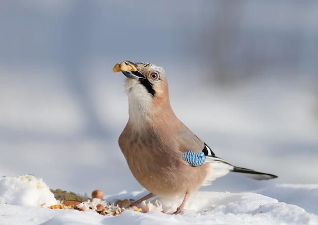 Евразийская сойка сидит на снегу и пытается проглотить грецкие орехи. фото крупным планом с деталями оперения и радужной оболочки глаза