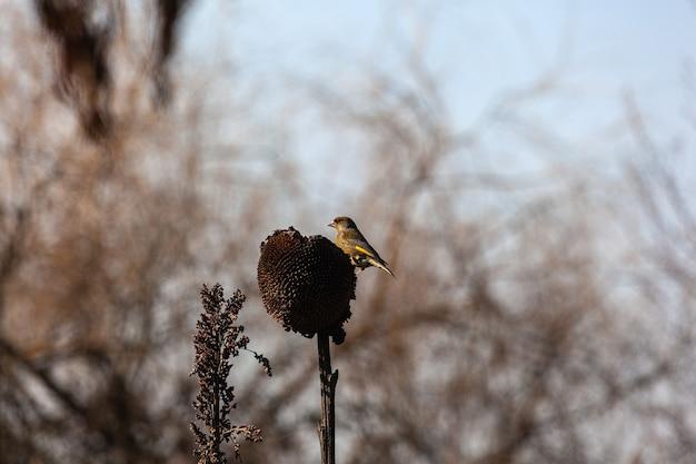 유럽의 greenfinch 또는 단순히 greenfinch (chloris chloris)는 핀치 가족 fringillidae의 작은 참새 새입니다.