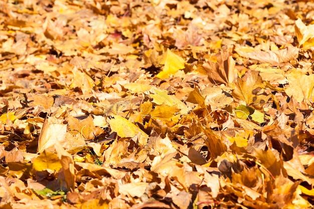 Опавшие на землю пожелтевшие кленовые листья в осенний сезон