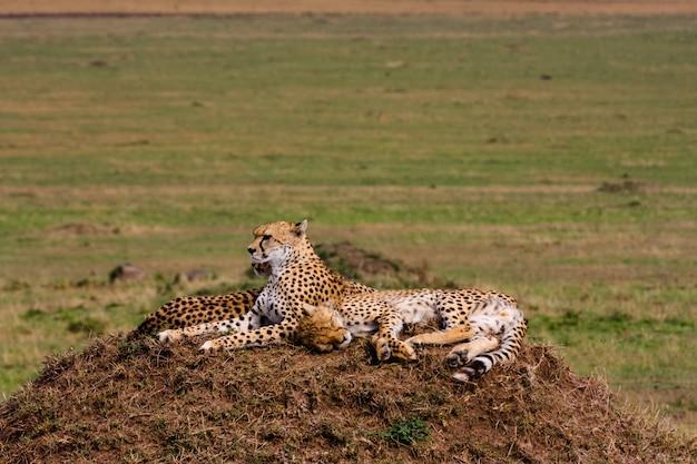 Семья гепардов. холмы серенгети, африка