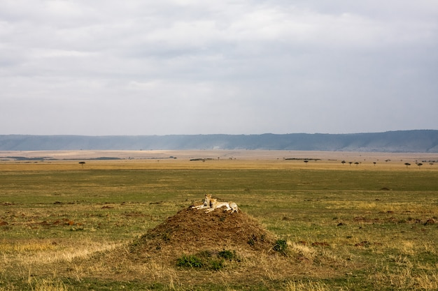 Семья гепардов смотрит. холмы серенгети, африка