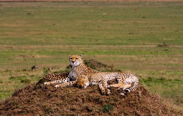 Семья гепардов. саванна серенгети, африка