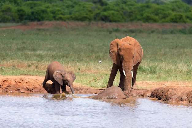 Семья красных слонов у водоема посреди саванны