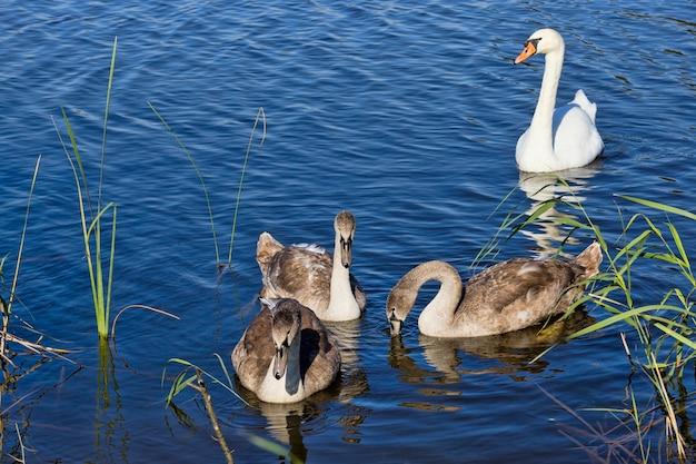白鳥の家族